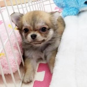 チワワ(ロング)の子犬(ID:1240211215)の1枚目の写真/更新日:2018-01-24