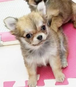 チワワ(ロング)の子犬(ID:1240211215)の2枚目の写真/更新日:2018-01-24
