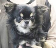 チワワ(ロング)の子犬(ID:1240211215)の3枚目の写真/更新日:2018-01-24
