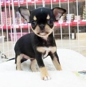 チワワ(スムース)の子犬(ID:1240211216)の1枚目の写真/更新日:2018-01-24