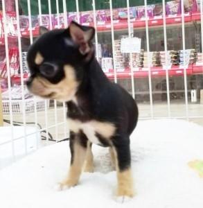 チワワ(スムース)の子犬(ID:1240211216)の2枚目の写真/更新日:2018-01-24