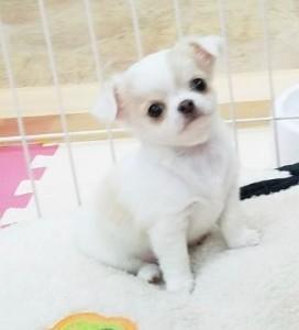 チワワ(ロング)の子犬(ID:1240211217)の1枚目の写真/更新日:2018-01-24