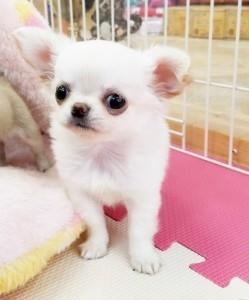 チワワ(ロング)の子犬(ID:1240211218)の1枚目の写真/更新日:2018-02-22