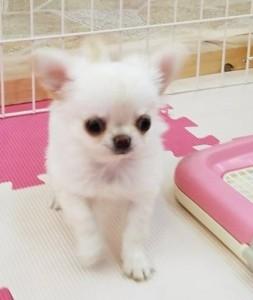 チワワ(ロング)の子犬(ID:1240211218)の2枚目の写真/更新日:2018-02-22