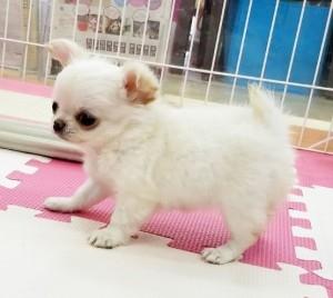 チワワ(ロング)の子犬(ID:1240211218)の3枚目の写真/更新日:2018-02-22