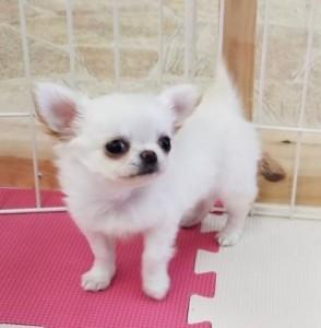 チワワ(ロング)の子犬(ID:1240211218)の4枚目の写真/更新日:2018-02-22