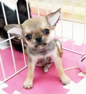 チワワ(スムース)の子犬(ID:1240211219)の1枚目の写真/更新日:2018-02-22