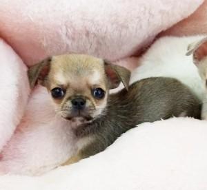 チワワ(スムース)の子犬(ID:1240211219)の2枚目の写真/更新日:2018-02-22