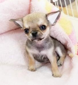 チワワ(スムース)の子犬(ID:1240211219)の3枚目の写真/更新日:2018-02-22