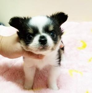 チワワ(ロング)の子犬(ID:1240211220)の1枚目の写真/更新日:2018-03-23