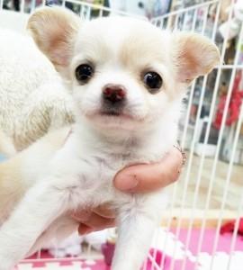 チワワ(ロング)の子犬(ID:1240211221)の1枚目の写真/更新日:2018-03-23