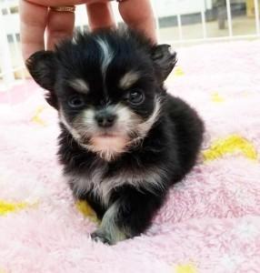 チワワ(ロング)の子犬(ID:1240211222)の1枚目の写真/更新日:2018-03-23