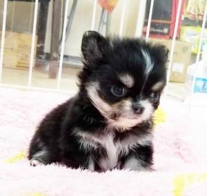 チワワ(ロング)の子犬(ID:1240211222)の2枚目の写真/更新日:2018-03-23