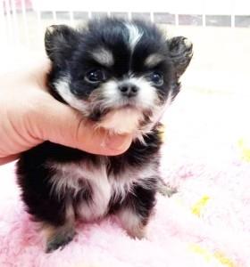 チワワ(ロング)の子犬(ID:1240211222)の4枚目の写真/更新日:2018-03-23