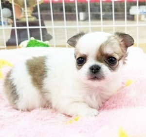 チワワ(ロング)の子犬(ID:1240211223)の1枚目の写真/更新日:2018-03-23