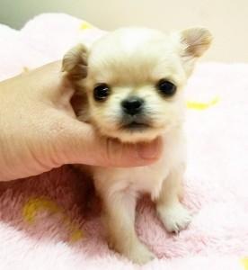 チワワ(ロング)の子犬(ID:1240211224)の1枚目の写真/更新日:2018-03-23