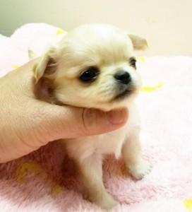チワワ(ロング)の子犬(ID:1240211224)の2枚目の写真/更新日:2018-03-23