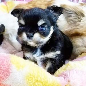 チワワ(ロング)の子犬(ID:1240211225)の1枚目の写真/更新日:2018-04-04