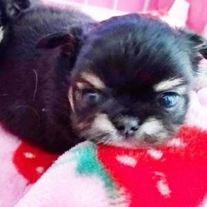 チワワ(ロング)の子犬(ID:1240211226)の1枚目の写真/更新日:2018-04-04