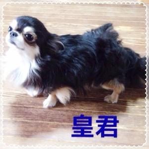チワワ(ロング)の子犬(ID:1240211226)の2枚目の写真/更新日:2018-04-04