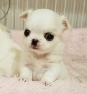 チワワ(ロング)の子犬(ID:1240211227)の1枚目の写真/更新日:2018-04-17