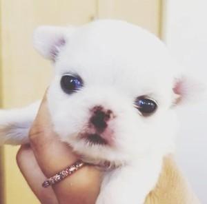 チワワ(ロング)の子犬(ID:1240211227)の2枚目の写真/更新日:2018-04-17