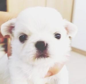 チワワ(ロング)の子犬(ID:1240211228)の1枚目の写真/更新日:2018-04-10