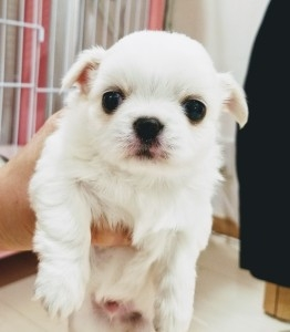 チワワ(ロング)の子犬(ID:1240211229)の1枚目の写真/更新日:2018-04-17