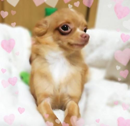チワワ(ロング)の子犬(ID:1240511016)の1枚目の写真/更新日:2017-10-24