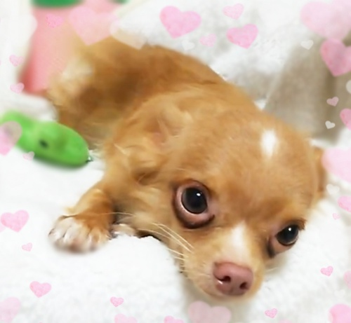 チワワ(ロング)の子犬(ID:1240511016)の2枚目の写真/更新日:2017-10-24