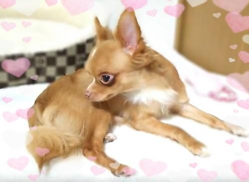 チワワ(ロング)の子犬(ID:1240511016)の3枚目の写真/更新日:2017-10-24