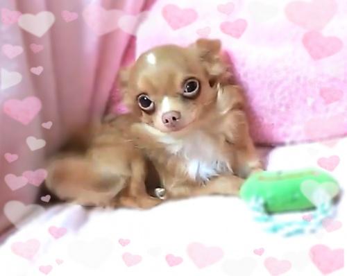 チワワ(ロング)の子犬(ID:1240511016)の4枚目の写真/更新日:2017-10-24