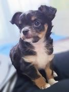 チワワ(ロング)の子犬(ID:1240511017)の1枚目の写真/更新日:2017-09-28