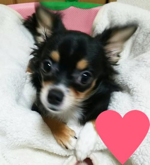チワワ(ロング)の子犬(ID:1240511017)の2枚目の写真/更新日:2017-10-24