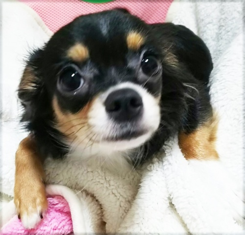 チワワ(ロング)の子犬(ID:1240511017)の3枚目の写真/更新日:2017-10-24