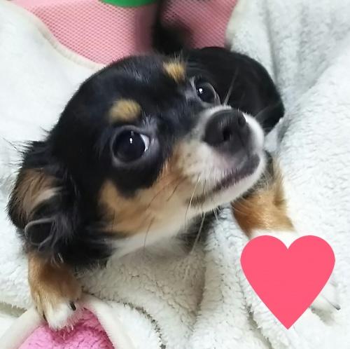チワワ(ロング)の子犬(ID:1240511017)の4枚目の写真/更新日:2017-10-24
