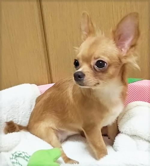 チワワ(ロング)の子犬(ID:1240511018)の1枚目の写真/更新日:2017-10-24