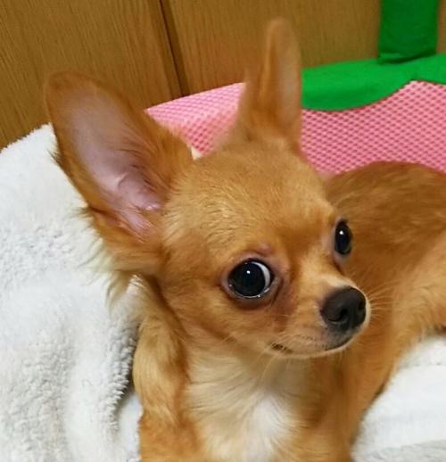チワワ(ロング)の子犬(ID:1240511018)の2枚目の写真/更新日:2017-10-24