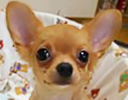 チワワ(ロング)の子犬(ID:1240511018)の3枚目の写真/更新日:2017-10-24
