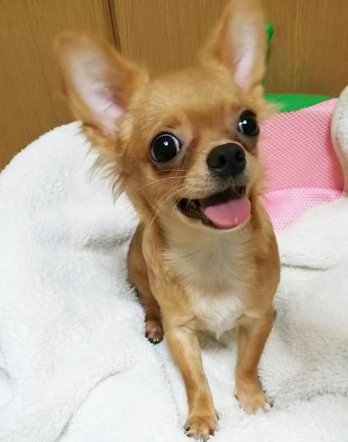 チワワ(ロング)の子犬(ID:1240511018)の4枚目の写真/更新日:2017-10-24