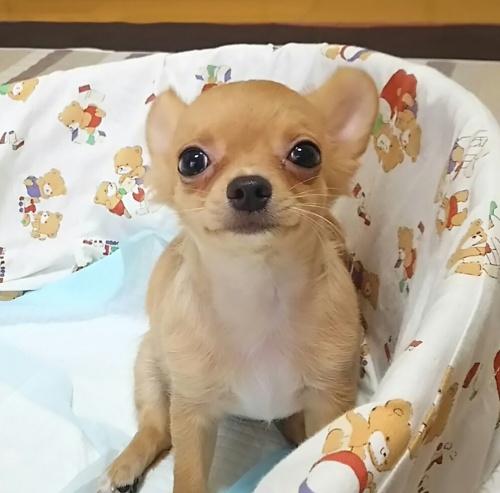 チワワ(ロング)の子犬(ID:1240511018)の5枚目の写真/更新日:2017-10-24