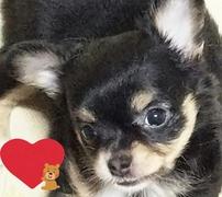 チワワ(ロング)の子犬(ID:1240511019)の1枚目の写真/更新日:2017-09-28