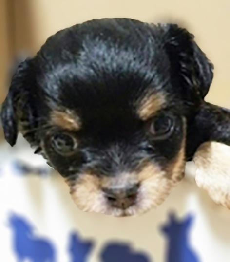チワワ(ロング)の子犬(ID:1240511019)の2枚目の写真/更新日:2017-09-28