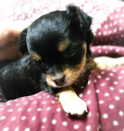 チワワ(ロング)の子犬(ID:1240511019)の3枚目の写真/更新日:2017-09-28