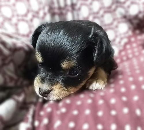 チワワ(ロング)の子犬(ID:1240511019)の4枚目の写真/更新日:2017-09-28