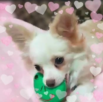 チワワ(ロング)の子犬(ID:1240511020)の1枚目の写真/更新日:2017-12-20