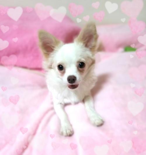チワワ(ロング)の子犬(ID:1240511020)の2枚目の写真/更新日:2017-11-01