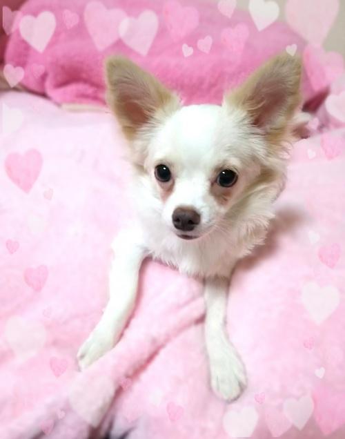 チワワ(ロング)の子犬(ID:1240511020)の3枚目の写真/更新日:2017-11-01