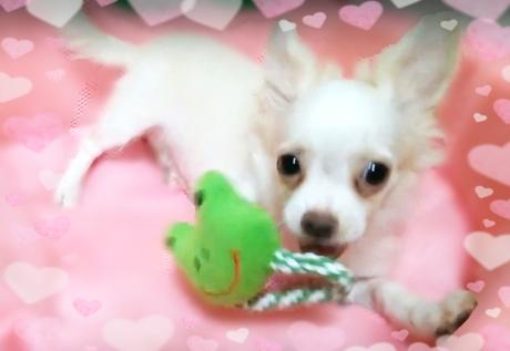 チワワ(ロング)の子犬(ID:1240511020)の4枚目の写真/更新日:2017-12-13