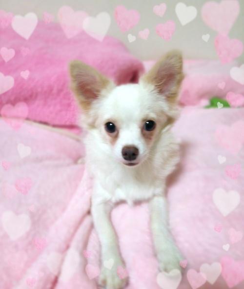 チワワ(ロング)の子犬(ID:1240511020)の5枚目の写真/更新日:2017-12-13